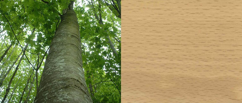 Hêtre - Essence bois